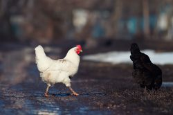 Why the Chicken Crossed the Road…to Kale.
